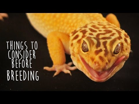 How to pair leopard geckos for breeding part 2 doovi for Brian barczyk tattoo