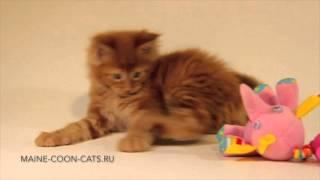 Красный котёнок мейн кун