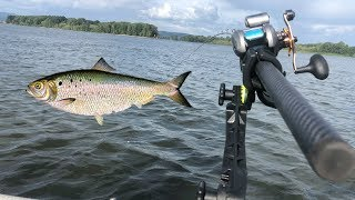 Shad Fishing The Columbia River! (Live Fishing Show)