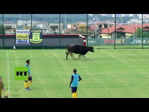 Una vaca se cuela en un campo de fútbol durante un partido amistoso en Sofía (Bulgaria)