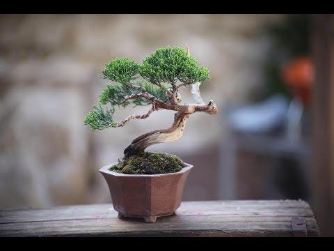 mame bonsai trees super mini bonsai part 3 youtube. Black Bedroom Furniture Sets. Home Design Ideas