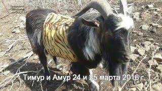 Тимур и Амур 24 и 25 марта 2016 г.