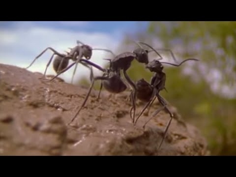 Ants - Attenborough: Life in the...