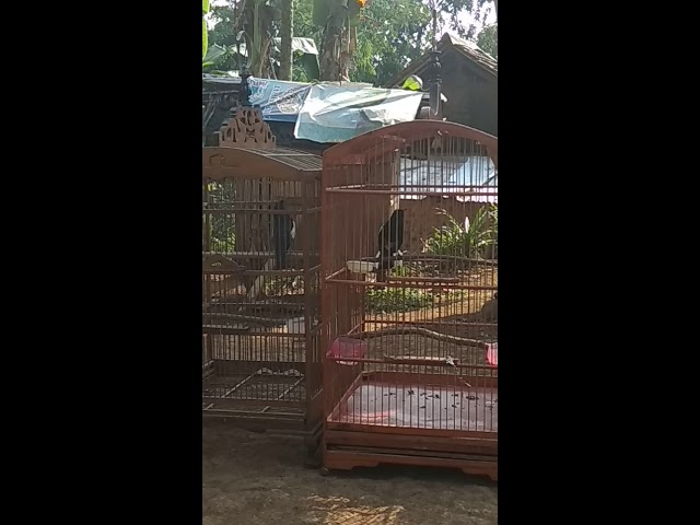 Kacer jateng pertarungan sengit anti mbagong