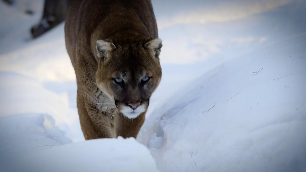 Surviving a Mountain Lion Attack | Survival Science | Full Episode