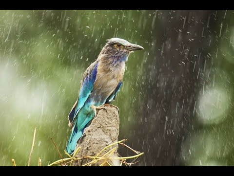 River Rain and Wildlife 10hours(RAIN SOUNDS) Sleep Relaxing Meditation ASMR