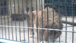 الأسد في حديقة الحيوانات الحامة الجزائر