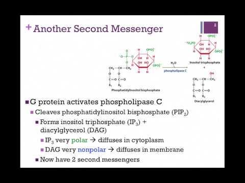 071-Phospholipase C Pathway