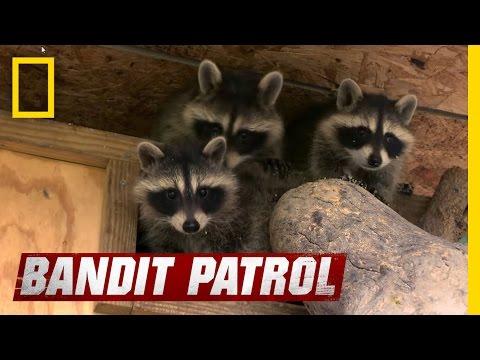Training Raccoons to Forage | Bandit Patrol
