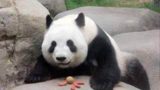 Hong Kong - Ocean Park Panda