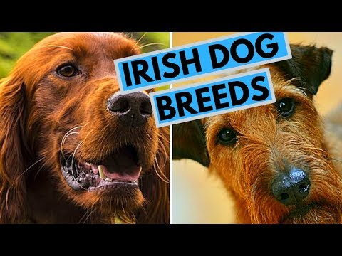 TOP 10 Irish Dog Breeds List