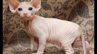 кошка сфинкс описание породы содержание и уход