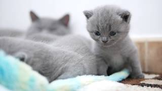 Британские котята в возрасте 3 недели (Litter-J2)