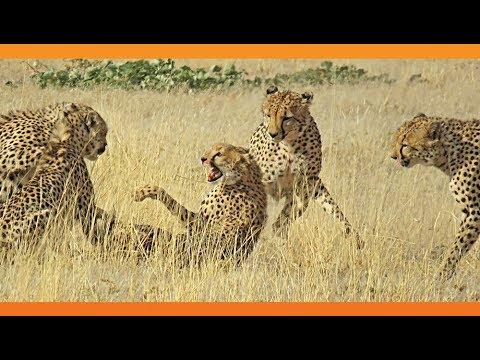 4 Male Cheetahs Against 1 Female