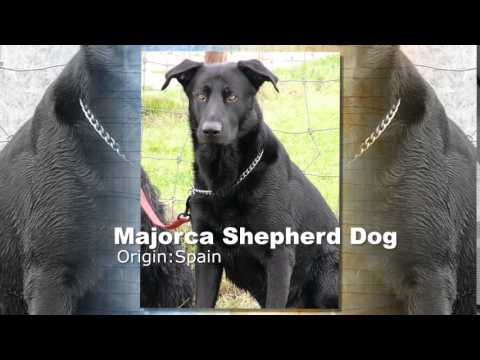 Majorca Shepherd Dog Breed