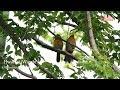 Burung Wambi Di Alam Liar Satv Channel  Mp3 - Mp4 Download