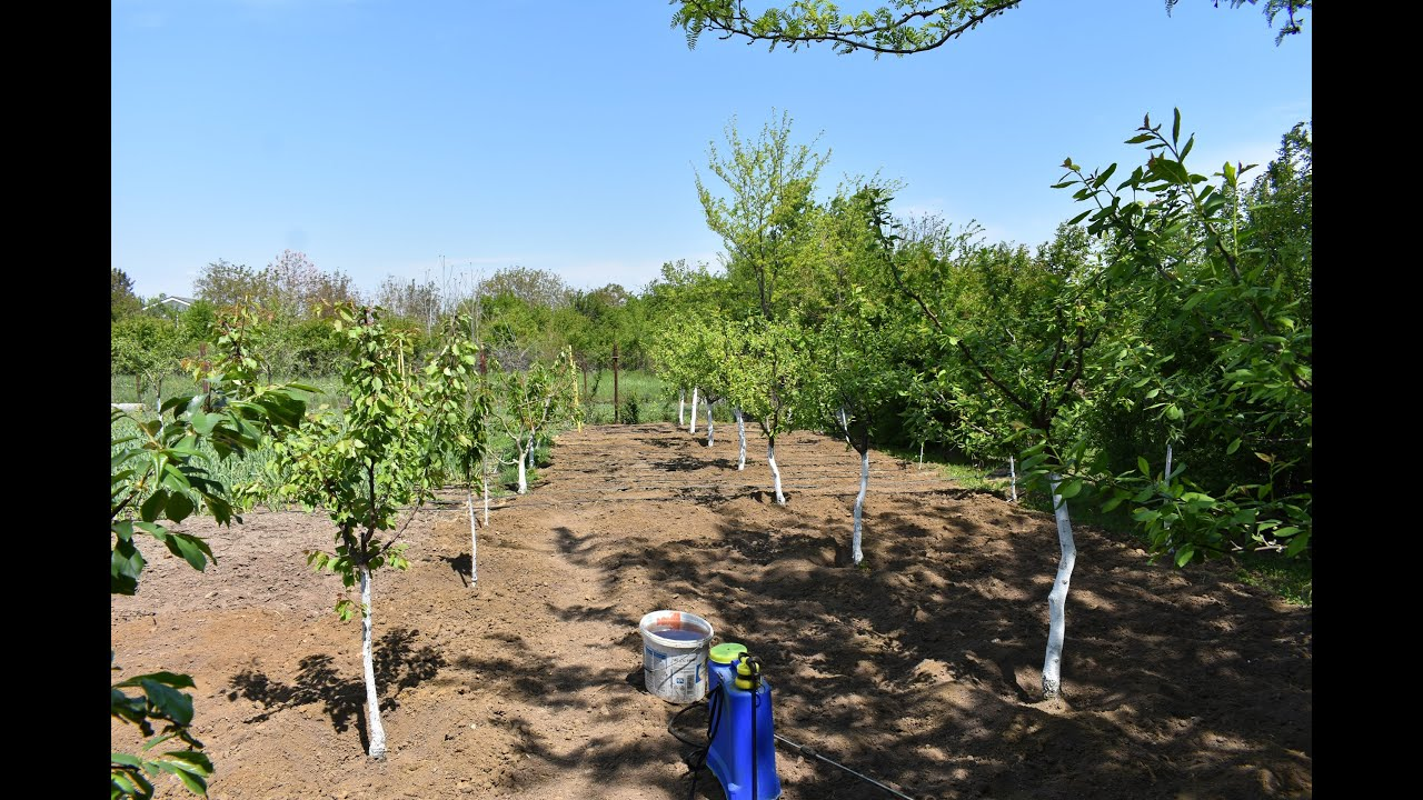 Fungicid si Insecticid / Tratament pomi fructiferi la infruzire.