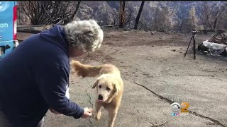 Dog Waits For Weeks At Owner's Home Destroyed In Camp Fire
