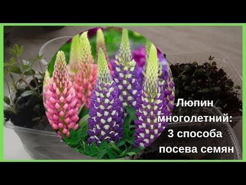 Люпин многолетний: 3 способа посева семян.