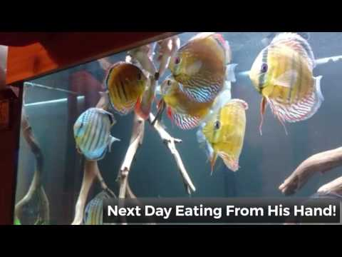Acclimating Wild Discus In 180 Gallon At Wattley Discus