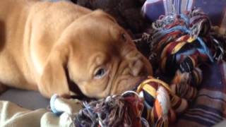 Dogue De Bordeaux Bones Als Welpe