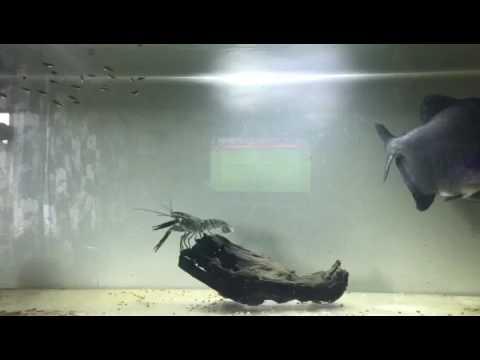 black piranha and crayfish