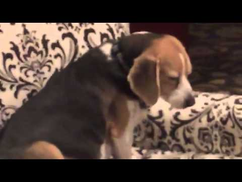 Tumblr - Beagle eats WHOLE bag of dog treats and SHITS everywhere!