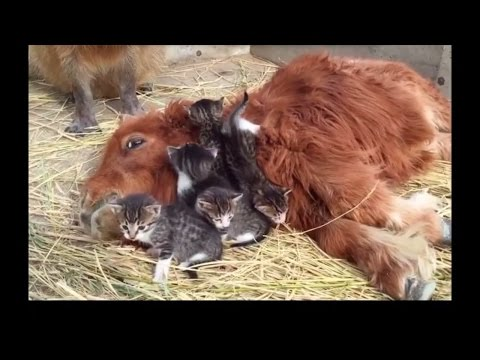 Cute kittens Best Friends with Pony and capybara