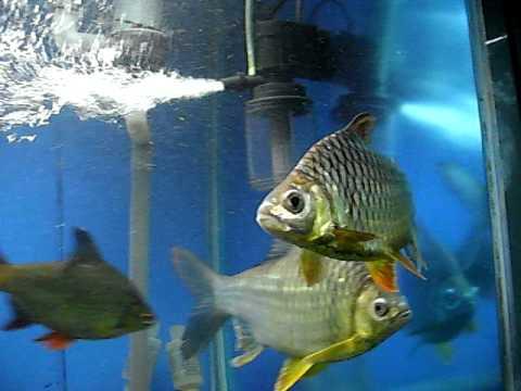 慈鯛 泰國鯽混養 | Doovi