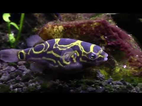 Figure 8 Puffer Eating Snails (Tetraodon Biocellatus) Brackish Tank
