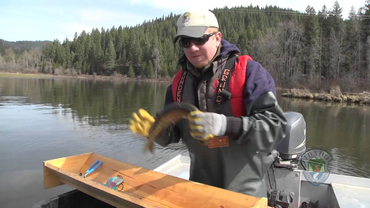 Northern Pike Populations Monitored by Idaho Fish & Game