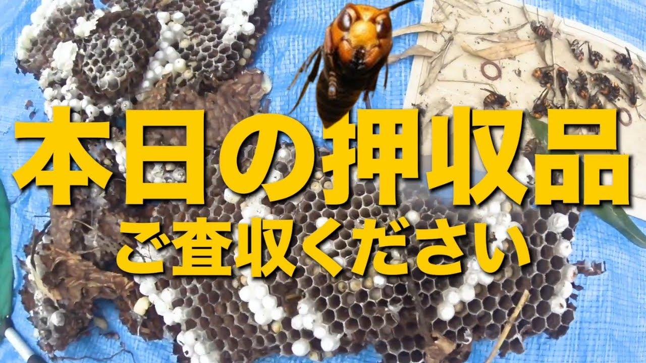 見つけるまでが大変!オオスズメバチの巣大捜索 大津市でスズメバチ駆除 Exterminated the giant hornet in Japan