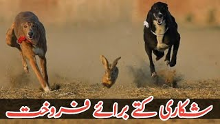 Grey Hound Dogs | Tazi Dog For Sale In Pakistan | Racing Dog Breed |