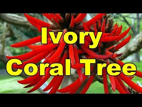 Ivory Coral Tree - Erythrina Speciosa HD Video 01