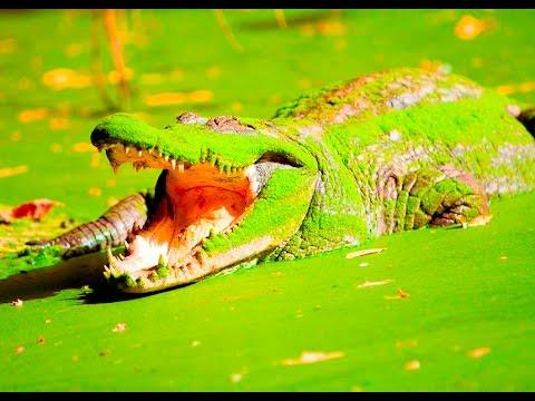 Kachikally Crocodile Pool, Gambia (The Sacred Pool)