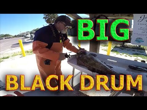 BLACK DRUM - ST. JOHNS RIVER - JACKSONVILLE FLORIDA