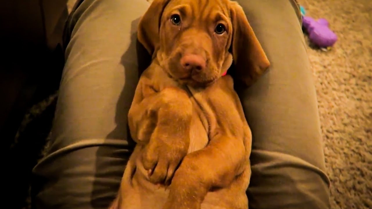 vizsla puppy year in review vlog 77 youtube