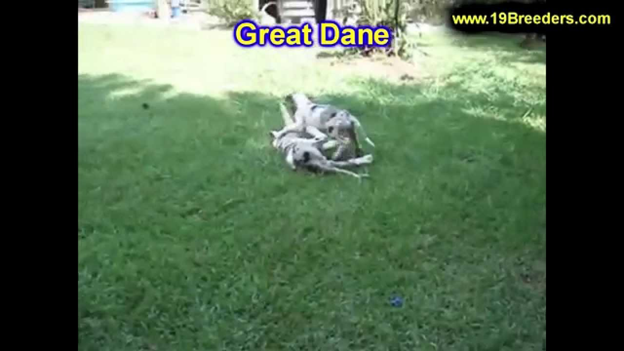 Great Dane, Puppies, Dogs, For Sale, In Norfolk, County ...