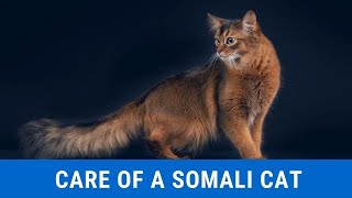 How to Take Care of a Somali Cat updated 2021
