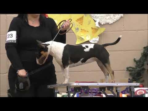 BARRETT PAINTED QUANDRA Miniature Bull Terrier MBTC Xmas 2018