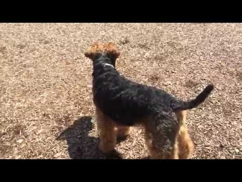 Welsh Terrier Pup - Cute Puppy Dog Only 1 Years Old