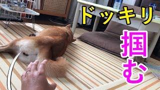 【ドッキリ】お昼寝中の柴犬の尻尾を背後から掴んでみたら、どうなった!?
