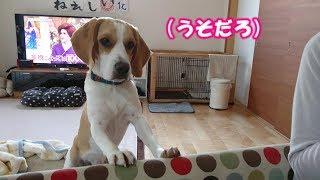 Beagle #ビーグル #うぃるさん あげたいのはやまやまなんだけど ダメ...