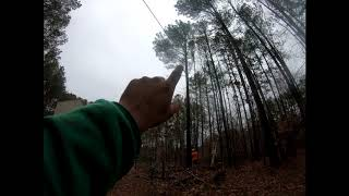 Felling a pine tree on blocks of wood to save the driveway!
