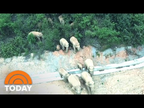 An Elephant Herd Is On A 300-Mile Journey, And Nobody Knows Why