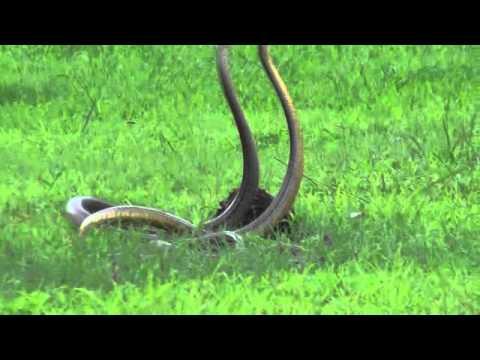 Snake Dance Snakes Mating Youtube
