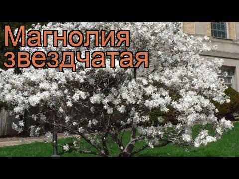 Магнолия звездчатая (magnolia stellata) �� звездчатая магнолия обзор: как сажать, саженцы магнолии