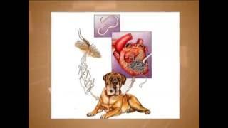 Ветеринар - о дирофиляриозе