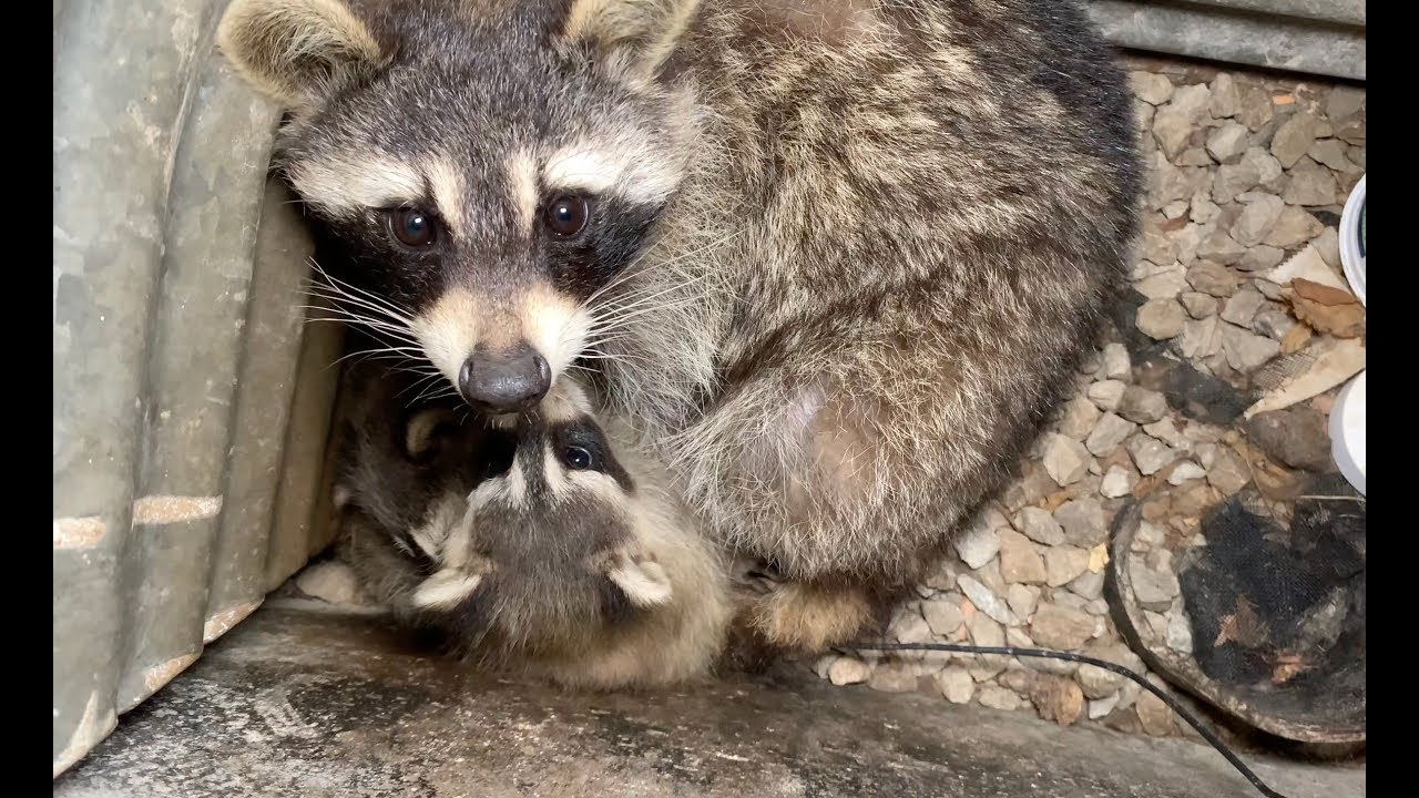 """Raccoon Removal """"Well"""" Done"""