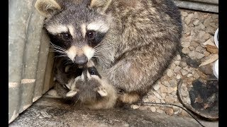 Raccoon Removal 'Well' Done